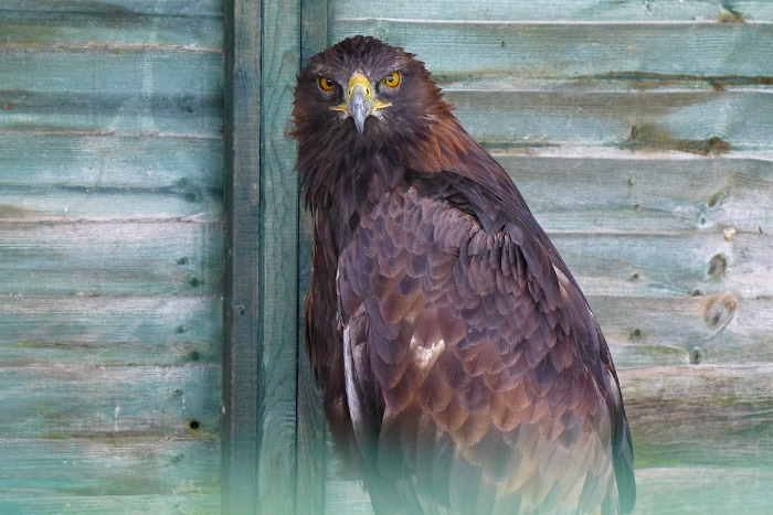 Including 'Fatty' the Golden Eagle.